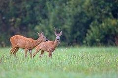 Косул-олени с оленями самца оленя стоковое изображение rf