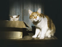 2 кота, жизнь котов, кот имбиря смотрят с подозрением и белым котом в коробке Стоковые Изображения RF