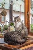 2 кота окном Стоковая Фотография