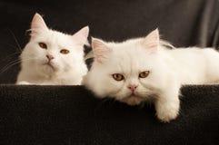 2 кота Стоковая Фотография RF