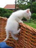 котенок альбиноса стоковое изображение rf