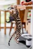 Котенок Бенгалии вися от таблицы стоковое фото