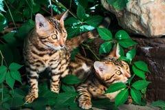 Котенок Бенгалии самостоятельно outdoors стоковое фото