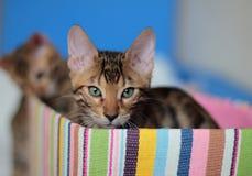 Котенок Бенгалии сидя в красочной коробке Стоковые Фотографии RF