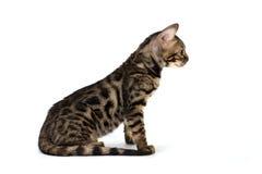 Котенок Бенгалия, изолированная на белизне Стоковые Фото
