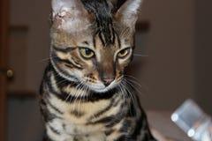 Котенок Бенгалия кота Стоковое Фото