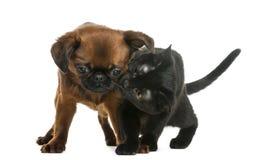 Котенок Бомбея обнюхивая Петит Brabancon Стоковая Фотография RF