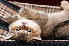 Котенок Брауна великобританский со смешным намордником лежит вверх ногами стоковая фотография