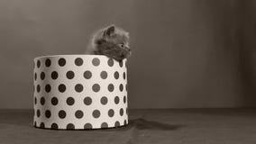 Котенок британцев Shorthair взбираясь на округленной коробке сток-видео