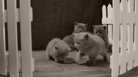 Котенок британцев Shorthair голубой, белая загородка сток-видео