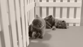 Котенок британцев Shorthair голубой, белая загородка акции видеоматериалы