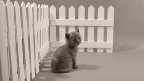 Котенок британцев Shorthair голубой, белая загородка видеоматериал