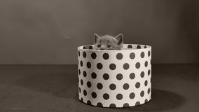 Котенок британцев Shorthair и коробка сток-видео