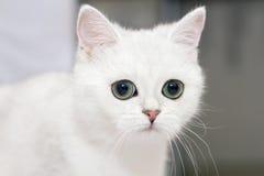 Котенок великобританской породы смотрит в расстояние Редкое colori Стоковое Фото