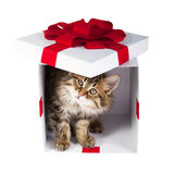 Котенок внутри подарочной коробки Стоковая Фотография
