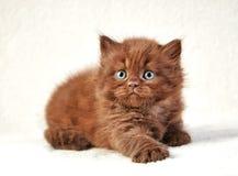 Котенок волос Брайна великобританский длинный Стоковые Изображения RF
