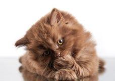 Котенок волос Брайна великобританский длинный Стоковые Изображения
