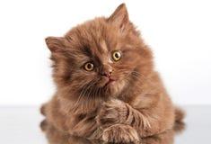 Котенок волос Брайна великобританский длинный Стоковое Изображение RF