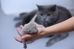 Котенок в руках женщины Стоковое Изображение RF