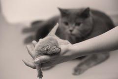 Котенок в руках женщины Стоковая Фотография