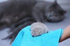 Котенок в руках ` s женщины на полотенце Стоковые Фотографии RF