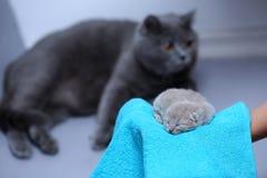 Котенок в руках ` s женщины на полотенце Стоковая Фотография RF