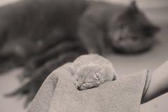 Котенок в руках ` s женщины на полотенце Стоковое фото RF