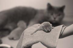 Котенок в руках ` s женщины на полотенце Стоковые Изображения RF