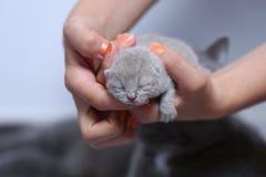 Котенок в руках ` s женщины Стоковые Фотографии RF
