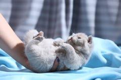 Котенок в руке женщины, британцах Shorthair Стоковое Фото