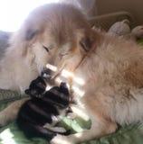 Котенок влюбленностей Пиренеи Стоковые Фото