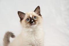котенок голубых глазов с показывать Стоковые Изображения RF