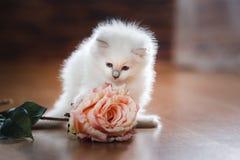 Котенок голубого пункта Ragdoll Стоковые Изображения