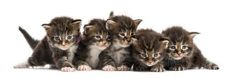 Котенок енота Мейна в ряд Стоковое Фото