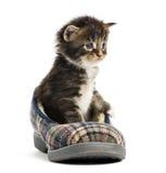 Котенок енота Мейна в тапочке Стоковое Фото