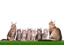 Котенок енота Мейна в траве Стоковая Фотография RF
