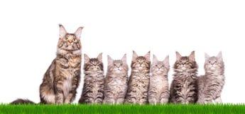 Котенок енота Мейна в траве Стоковые Изображения RF