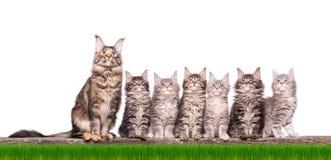 Котенок енота Мейна в траве Стоковая Фотография