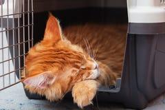 Котенок енота Мейна имбиря спать в несущей кота Стоковая Фотография