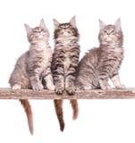 Котенок енота Мейна на белизне Стоковое Фото