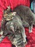 Котенок енота Мейна спать с товарищем по играм стоковое изображение rf