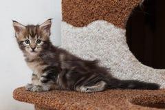 Котенок енота Мейна Стоковая Фотография RF