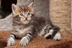 Котенок енота Мейна Стоковое Фото