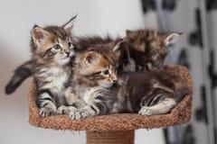 Котенок енота Мейна Стоковые Фото