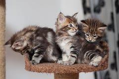 Котенок енота Мейна Стоковое фото RF