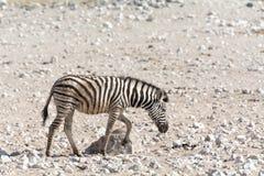 Котенок зебры в Намибии Стоковая Фотография
