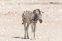 Котенок зебры стоковое изображение