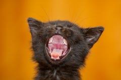 котенок зевая Стоковые Изображения