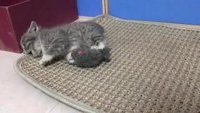 Котенок играет с мышью игрушки видеоматериал