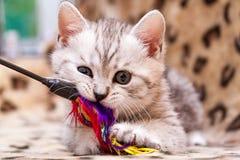 Котенок играя с палочкой пера, цвет небольшого великобританского котенка серый белый жует игрушку кота стоковое изображение rf